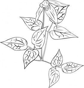 Clematis Occidentalis Outline