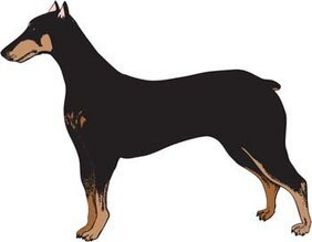 Doberman Vector 3
