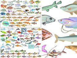 Vector variety of fish