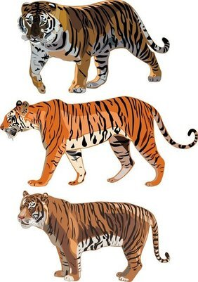 The Tiger Picture 12