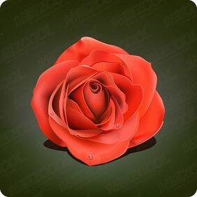 With droplets of red roses