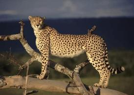 Safari Cheetah
