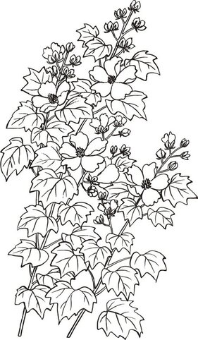 Vector line drawing Hibiscus