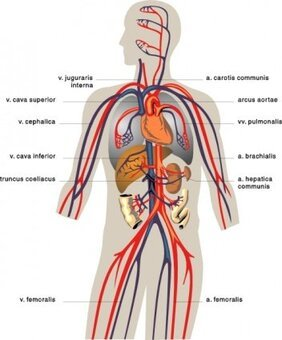 Veins Medical Diagram