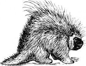 Porcupine Rodent