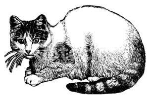 Domestic Cat,Ilustration,En...