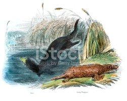 Duck-Billed Platypus,Otter,...