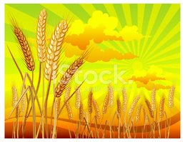 Crop,Wheat,Cereal Plant,Fie...
