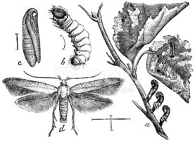 Cocoon,Insect,Antique,Engra...