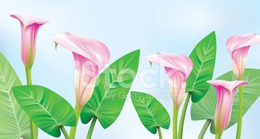Calla Lily,Lily,Frame,Ilust...