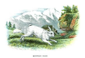 Hare,Old-fashioned,Arctic H...