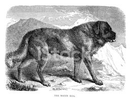 Mastiff,Dog,Engraved Image,...