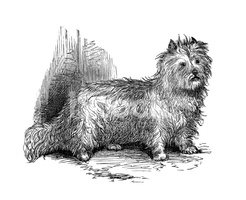Dog,Animal,Scottish Terrier...