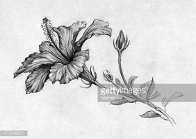 Hibiscus Flower Black And White Stock Vectors Clipartme