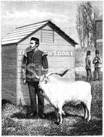 Regimental goat mascot standing to attention (Victorian illustra