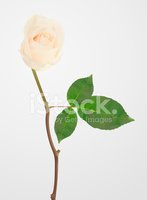 Rose - Flower,Flower,Single...