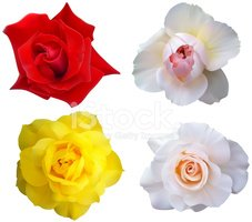 Rose - Flower,Flower,Isolat...