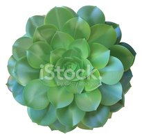 Single Flower,Succulent Pla...