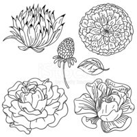 Flower,Carnation,Chrysanthe...