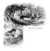 Red Deer,Engraved Image,Old...