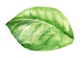Leaf,Watercolor Painting,Il...