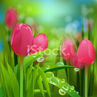 Tulip,Close-up,Flower,Candi...