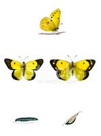Butterfly - Insect,Cocoon,I...