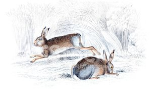Hare,Ilustration,Engraving,...