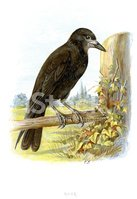 Crow,Bird,Old-fashioned,Ant...
