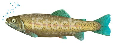 Trout,Ilustration,Fish,Isol...