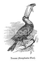 Toucan,Victorian Style,Engr...