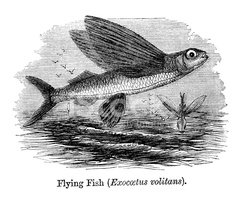 Ilustration,Flying Fish,Fis...