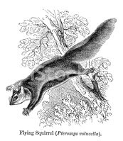 Flying Squirrel,Ilustration...