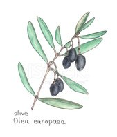 Olive Branch,Olive,Drawing ...
