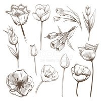 Isolated,Flower,Drawing - A...