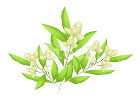 ylang,Asia,Flower Head,Camb...