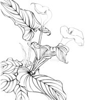 Calla Lily,Flower,Drawing -...