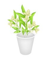 Beautiful Ylang Flowers in A Flower Pot