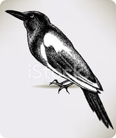 Etching,Magpie,Animal,Backg...