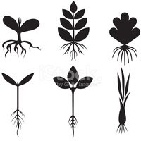 Root,Seedling,Growth,Onion,...