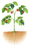 Tomato,Root,Leaf,Growth,Pla...