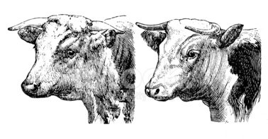 Cow,Engraved Image,Engravin...