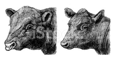 Aberdeen Angus Cattle,Cow,O...