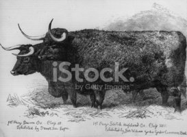 Ox,Livestock,People,Visual ...