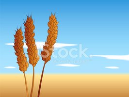Wheat,Cereal Plant,Whole Wh...