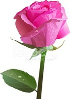 Rose - Flower,Pink Color,Fl...