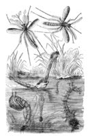 Engraved Image,Mosquito,Eng...