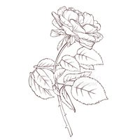 hand drawn rose flower isolated on a white stock vectors clipart me