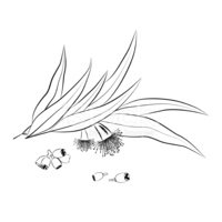 Eucalyptus Leaves Flowers And Seeds Outline 429577
