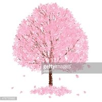 Trees of cherry blossoms